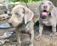 Weimaraner Puppies for sale in Pittsburgh, PA 15252, USA. price: NA