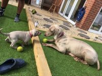 Weimaraner Puppies for sale in Seattle, WA 98109, USA. price: NA