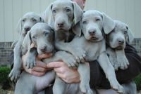Weimaraner Puppies for sale in Colorado Springs, CO, USA. price: NA