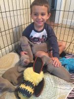 Weimaraner Puppies for sale in Los Angeles, CA 90012, USA. price: NA