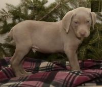 Weimaraner Puppies for sale in Nevada St, Newark, NJ 07102, USA. price: NA