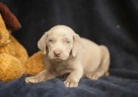 Weimaraner Puppies for sale in Albuquerque, NM 87101, USA. price: NA