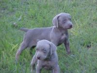 Weimaraner Puppies for sale in Jacksonville, FL, USA. price: NA