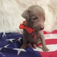 Weimaraner Puppies for sale in San Francisco, CA, USA. price: NA