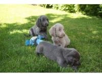 Weimaraner Puppies for sale in Virginia Beach, VA, USA. price: NA
