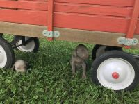 Weimaraner Puppies for sale in Norwood, NC 28128, USA. price: NA