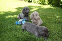 Weimaraner Puppies for sale in Oakland, CA 94624, USA. price: NA