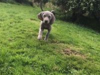 Weimaraner Puppies for sale in Orlando, FL, USA. price: NA