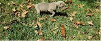 Weimaraner Puppies for sale in Gainesville, GA, USA. price: NA