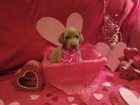 Weimaraner Puppies for sale in Baltimore, OH 43105, USA. price: NA