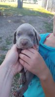 Weimaraner Puppies for sale in Longford, KS 67458, USA. price: NA