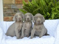 Weimaraner Puppies for sale in Rooseveltown, NY 13683, USA. price: NA