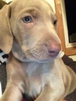 Weimaraner Puppies for sale in Hewitt, MN 56453, USA. price: NA