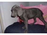 Weimaraner Puppies for sale in Houston, TX, USA. price: NA