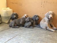 Weimaraner Puppies for sale in Roscommon, MI 48653, USA. price: NA