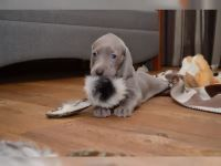 Weimaraner Puppies for sale in Dallas, TX, USA. price: NA