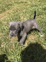 Weimaraner Puppies for sale in Fort Lauderdale, FL 33313, USA. price: NA
