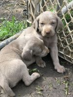 Weimaraner Puppies for sale in Claudville, VA 24076, USA. price: NA