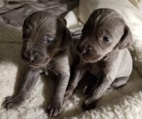 Weimaraner Puppies for sale in Dowagiac, MI 49047, USA. price: NA