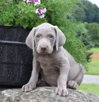 Weimaraner Puppies for sale in Minneapolis, MN, USA. price: NA