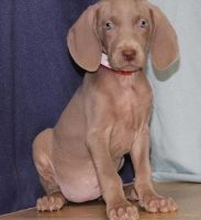 Weimaraner Puppies for sale in Kansas City, KS 66117, USA. price: NA