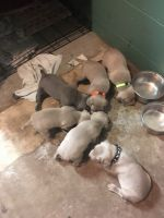 Weimaraner Puppies for sale in Muskegon, MI, USA. price: NA