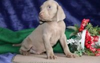 Weimaraner Puppies for sale in Boston, MA 02109, USA. price: NA