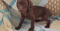 Weimaraner Puppies for sale in Madison, WI 53707, USA. price: NA