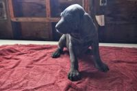 Weimaraner Puppies for sale in Richwood, OH 43344, USA. price: NA