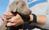Weimaraner Puppies for sale in Mather St, Oakland, CA 94611, USA. price: NA