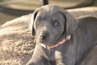Weimaraner Puppies for sale in Chino Hills, CA, USA. price: NA