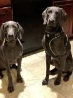 Weimaraner Puppies for sale in Summerville, SC, USA. price: NA