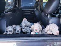 Weimaraner Puppies for sale in Goodyear, AZ, USA. price: NA