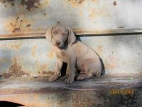 Weimaraner Puppies for sale in Jay, OK 74346, USA. price: NA