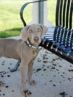 Weimaraner Puppies for sale in Lamar, MO 64759, USA. price: NA