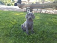 Weimaraner Puppies for sale in Lamar, CO 81052, USA. price: NA