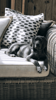 Weimaraner Puppies for sale in Bedford, TX, USA. price: NA