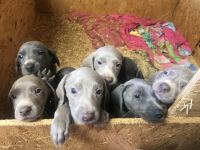 Weimaraner Puppies for sale in Casper, WY, USA. price: NA