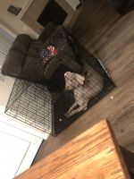 Weimaraner Puppies for sale in Chula Vista, CA, USA. price: NA