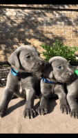 Weimaraner Puppies for sale in Baldwyn, MS, USA. price: NA