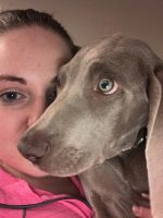 Weimaraner Puppies for sale in 223 W Bernadine Dr, Paoli, IN 47454, USA. price: NA