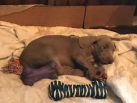 Weimaraner Puppies for sale in Osceola Mills, PA 16666, USA. price: NA