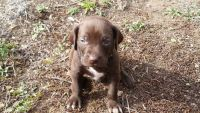 Weimaraner Puppies for sale in Sandpoint, ID 83864, USA. price: NA
