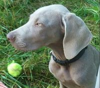 Weimaraner Puppies for sale in Burnsville, NC 28714, USA. price: NA