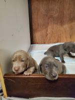Weimaraner Puppies for sale in Brooklyn, MI 49230, USA. price: NA