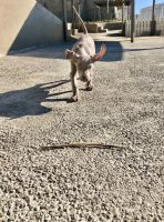 Weimaraner Puppies for sale in Corona, CA, USA. price: NA