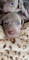 Weimaraner Puppies for sale in Albany, IN 47320, USA. price: NA
