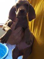 Weimaraner Puppies for sale in Mechanicsburg, OH 43044, USA. price: NA