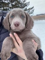 Weimaraner Puppies for sale in St Johns, MI 48879, USA. price: NA