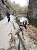 Weimaraner Puppies for sale in Spotsylvania County, VA, USA. price: NA